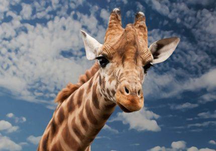 Oswoić żyrafę, poskromić szakala